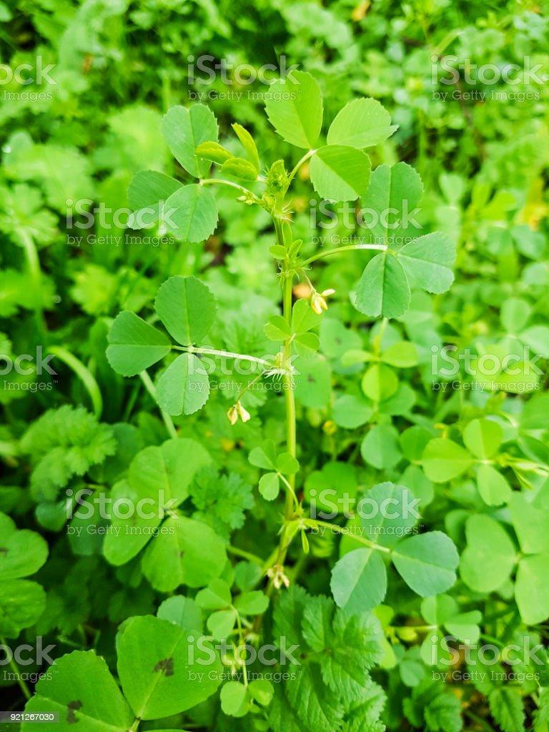 California burclover, toothed bur clover or medick stock photo
