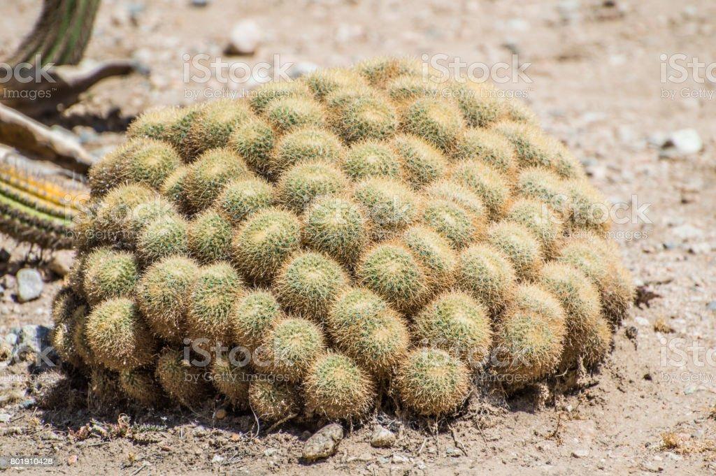 California Cactus stock photo