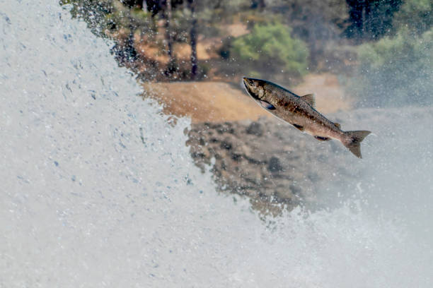 california chinook salmon jumps in waterfall - chinook salmon stock photos and pictures