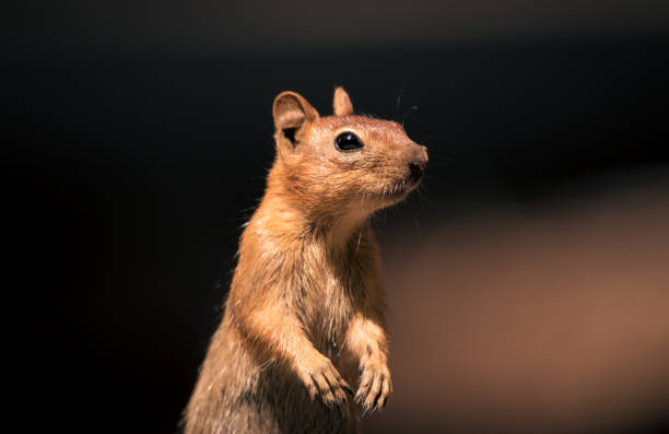 California chipmunk standing up on its back legs stock photo