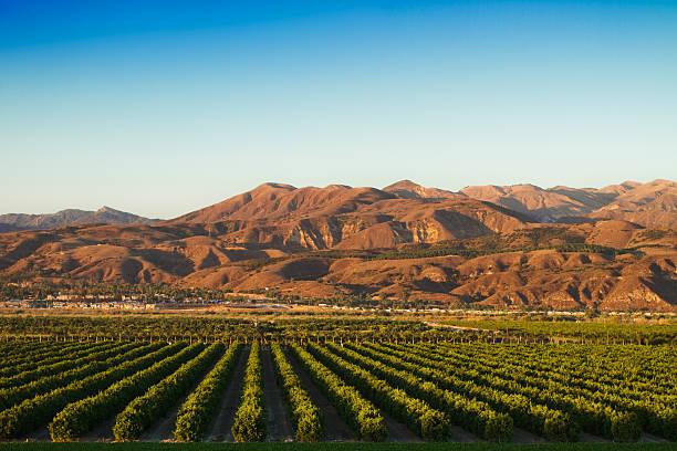 california zitrusbäumen - wäldchen stock-fotos und bilder