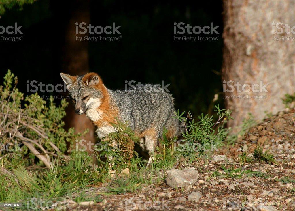 California coastal Gray Fox royaltyfri bildbanksbilder
