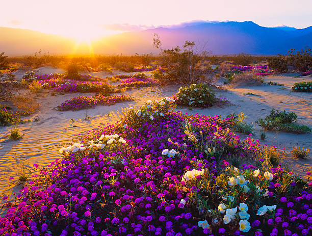 California Desert Spring Wildflowers In Anza Borrego Desert State Park, California mojave desert stock pictures, royalty-free photos & images