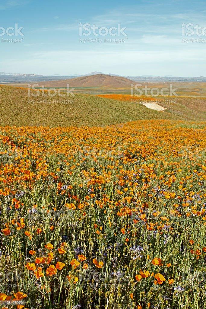 California Gold Poppy field stock photo