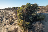 California Golden Bush, desert plants autumn season. Walking through the wilderness area in Oso Flaco Lake State Park, California
