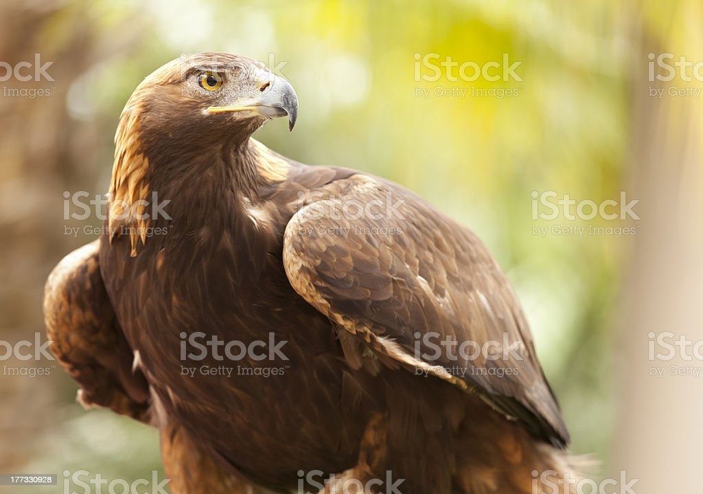 California Golden Eagle - foto stock