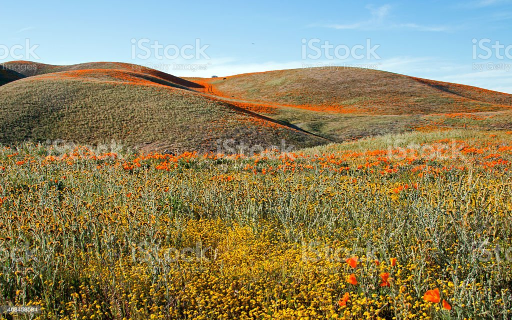California Golden Poppies and Desert Wildflower Fields in Rolling Hills stock photo
