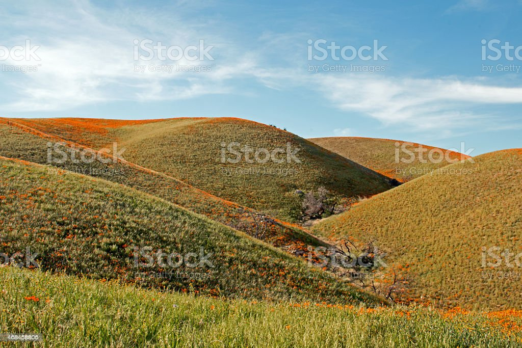 California Golden Poppies covering rolling hills stock photo