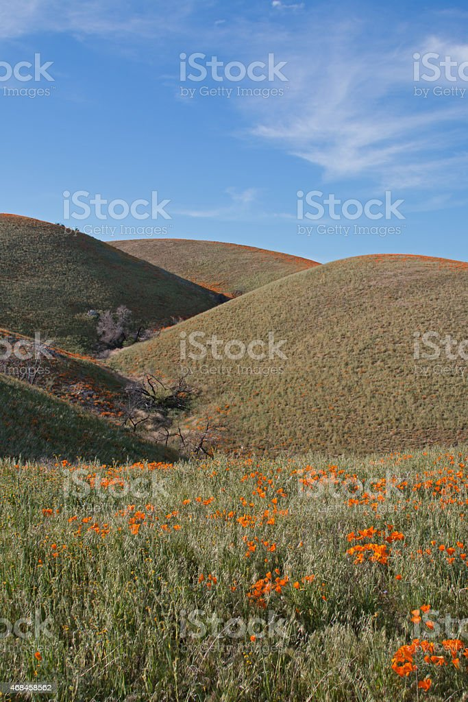 California Golden Poppies growing in the hillside ravine stock photo