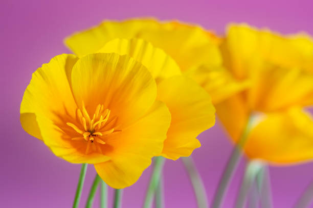 California Golden Poppies, in a row, studio shot against a pink background for a feminine floral background photo. stock photo