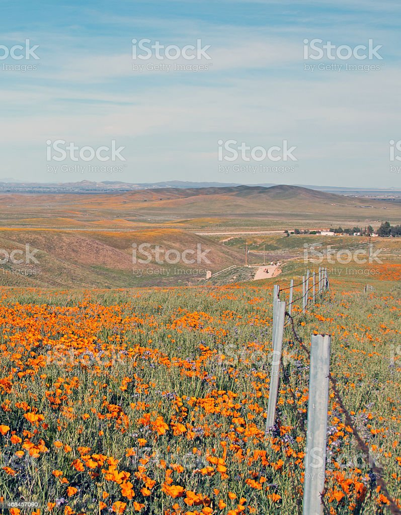 California Golden Poppies in Spring alongside barbed wire fence stock photo