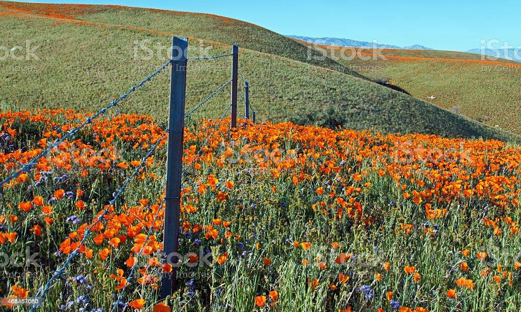 California Golden Poppies know no boundaries stock photo
