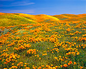 California Golden Poppies, Lupine and Goldfield wildflowers cover the hillside of Antelope Valley California