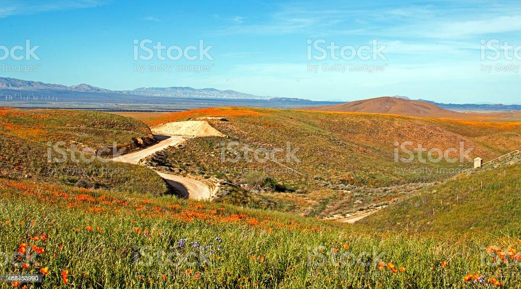 California Golden Poppies stock photo