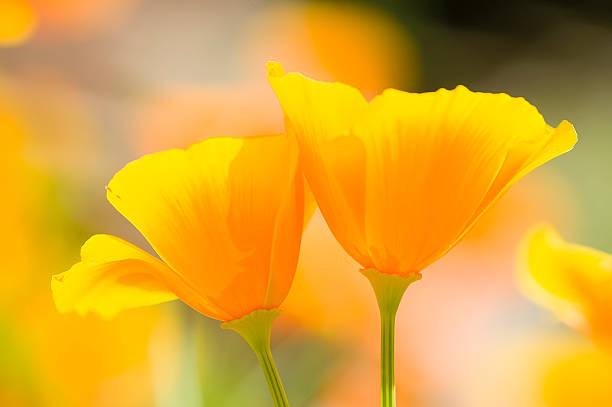golden poppies California - foto de stock