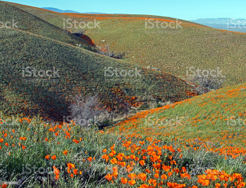 California Golden Poppies - Ravine Through Rolling Hills stock photo