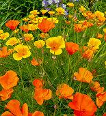 California Golden Poppies, Eschscholzia californica, bloom in a meadow on a sunny spring day.