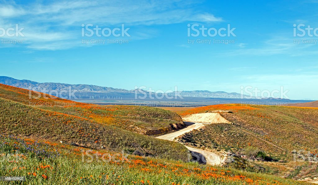 California Golden Poppies under Cirrus Cloud Sky stock photo
