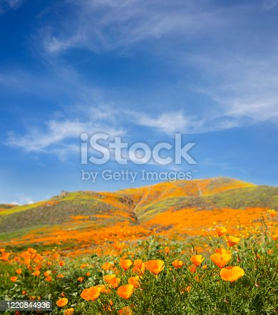 California Golden Poppy Field bloom in Southern California
