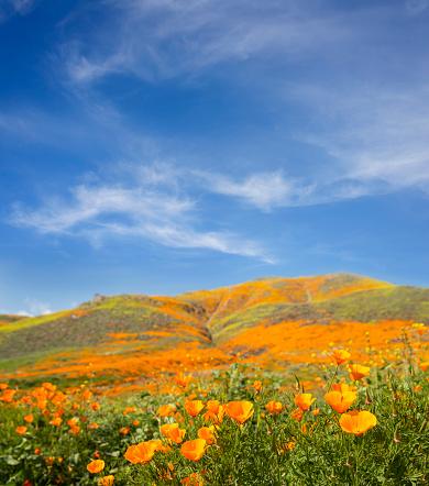 Orange flowers of california poppy on white background