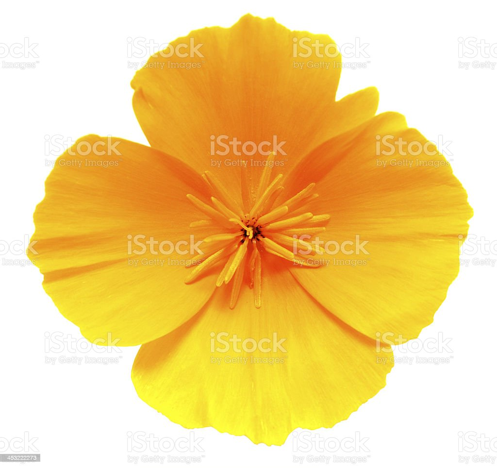 California Golden Poppy Flower Isolated On White Stock Photo More