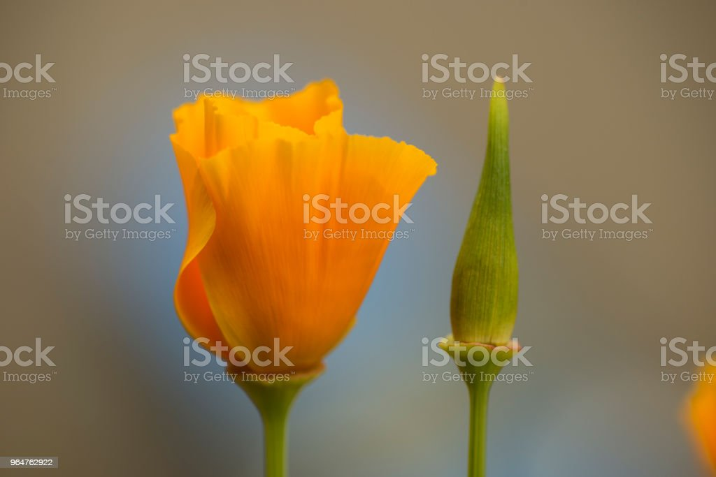 California golden poppy flowers royalty-free stock photo