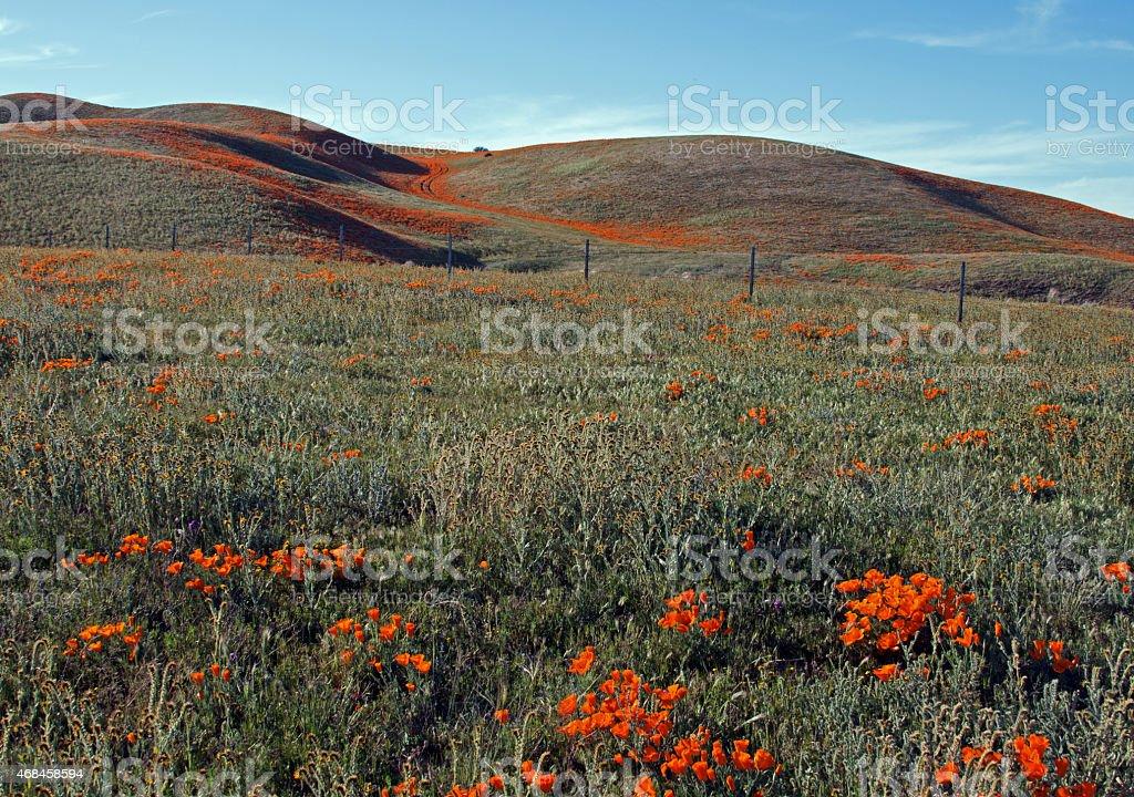 California Golden Poppy High Desert Hills Landscape stock photo