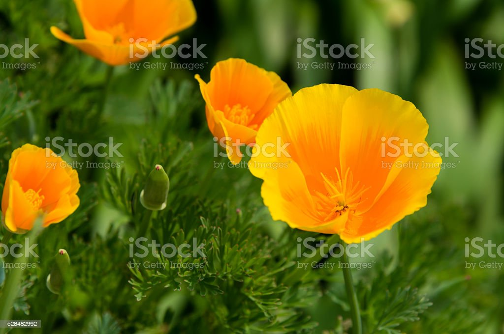California golden poppy stock photo