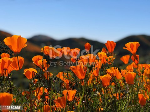 This picture was taken on the Walker Canyon Trail near the 2019 Lake Elsinore super bloom.