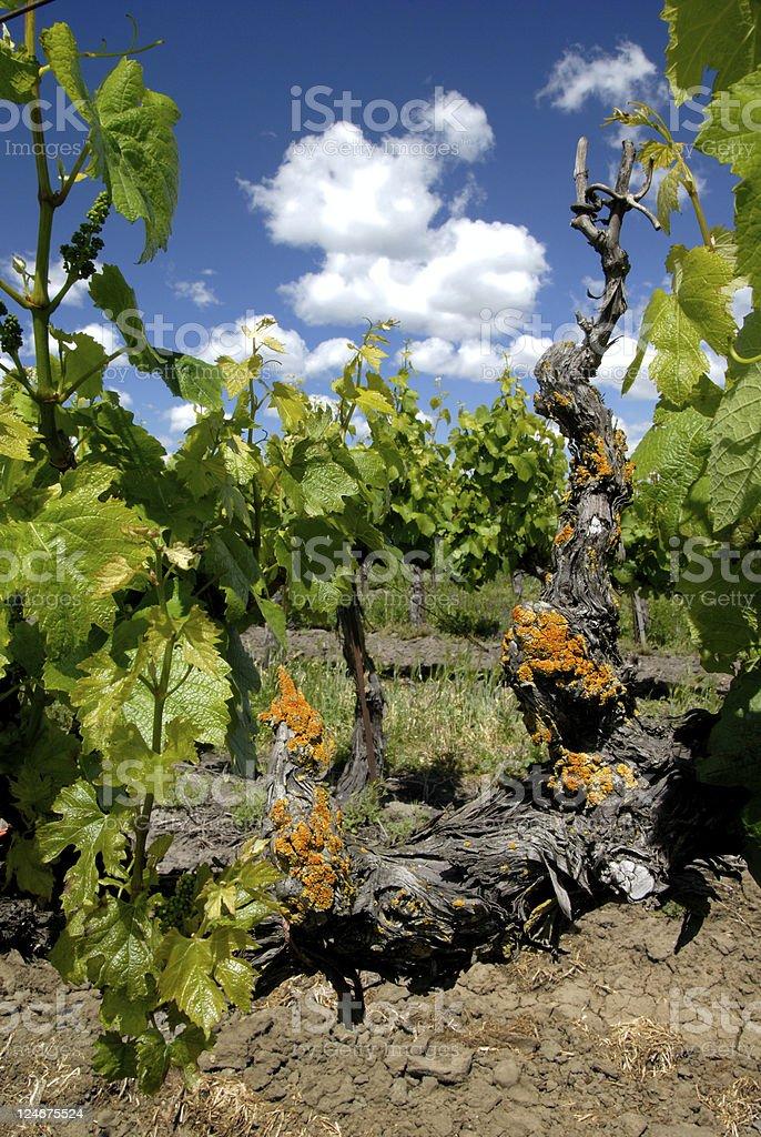 California Grape Vines stock photo