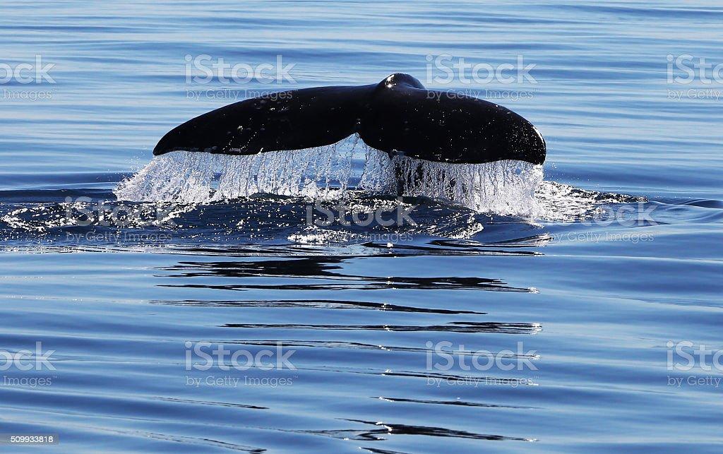 California Gray Whale Flukes stock photo