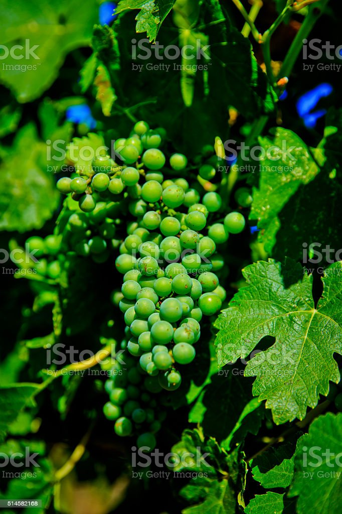 California Green Chardonnay Grapes stock photo