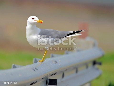 Adult California gull, perched on bridge rail, looks behind it, head turned to left.