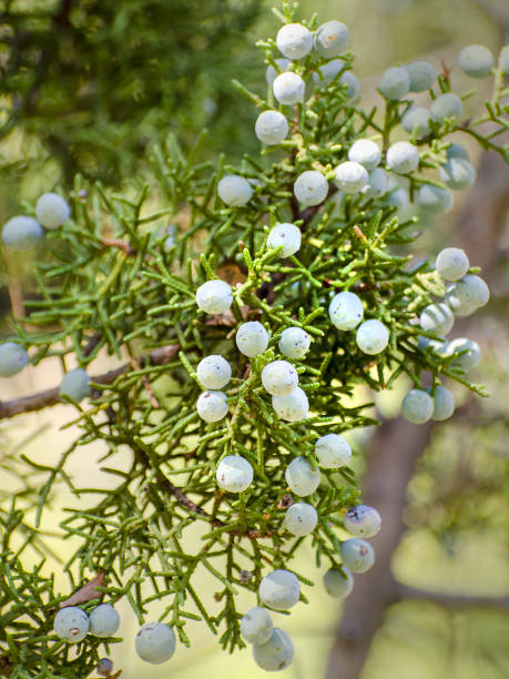 California juniper, Juniperus californica, at Pinnacles National Park stock photo