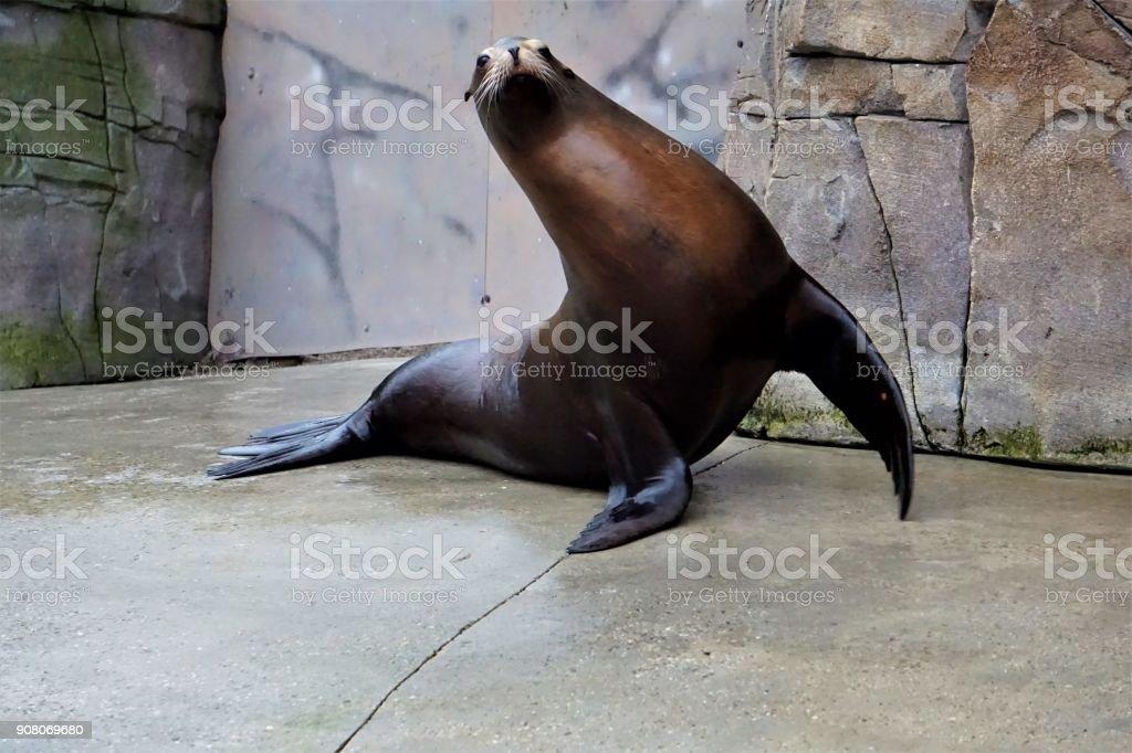 California lion waving flippers stock photo