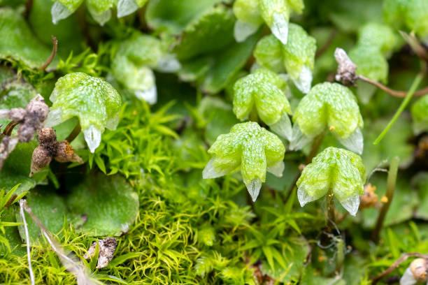 California liverwort, Asterella californica stock photo
