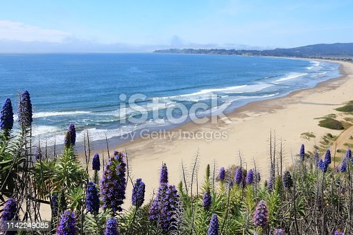 California nature - Stinson Beach landscape. Pride of Madeira (Echinum fastuosum) shrub.
