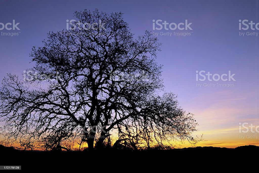 California Oak at twilight royalty-free stock photo