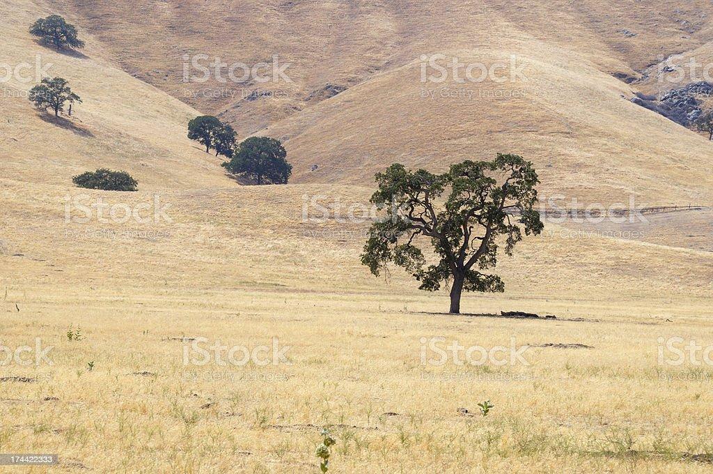 California Oak stock photo