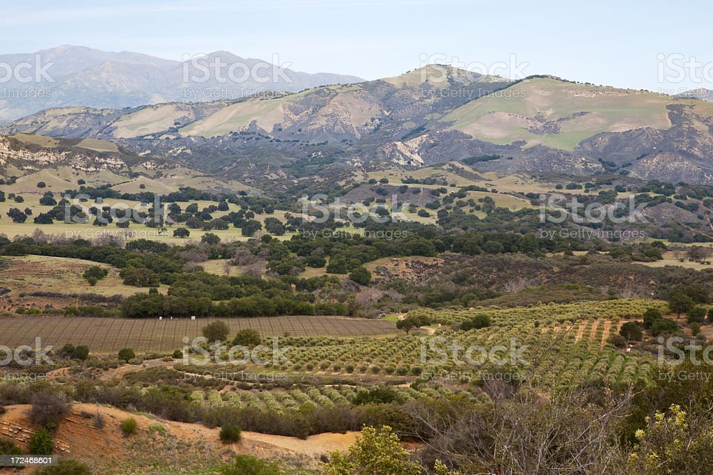 California Olive Groves and Vineyards in the Santa Ynez Valley royalty-free stock photo
