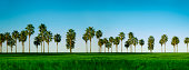 This is a large panoramic photo of palm trees in San Diego on a sunny morning.Click on the links below to view lightboxes.