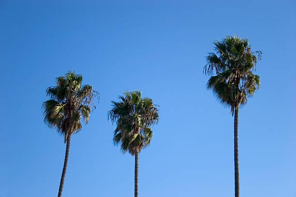California Palm Trees stock photo
