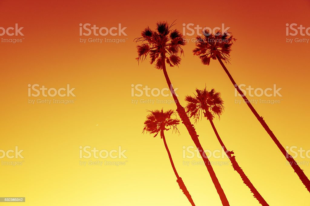 California Palms at sunset California Palm Trees view in Sunset Cliffs, San Diego, USA Beach Stock Photo