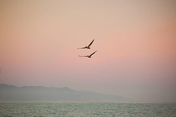 California Pelicans stock photo