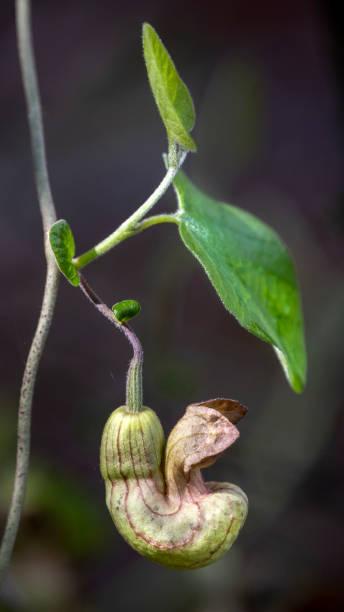 California pipevine, Aristolochia californica stock photo