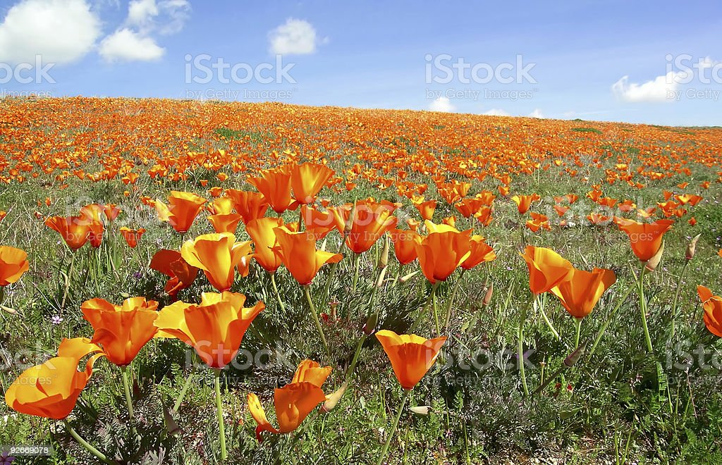 California poppies 2 royalty-free stock photo