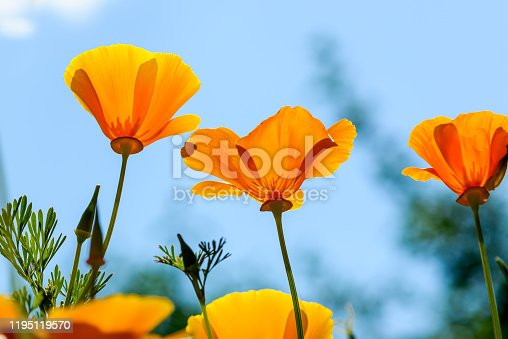 Frog perspective view of beautiful orange coloured California poppies against a blue sky
