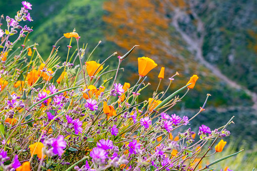 California poppies (Eschscholzia californica) and Desert wishbone bush (Mirabilis laevis) wildflowers blooming in Walker Canyon, Lake Elsinore, California