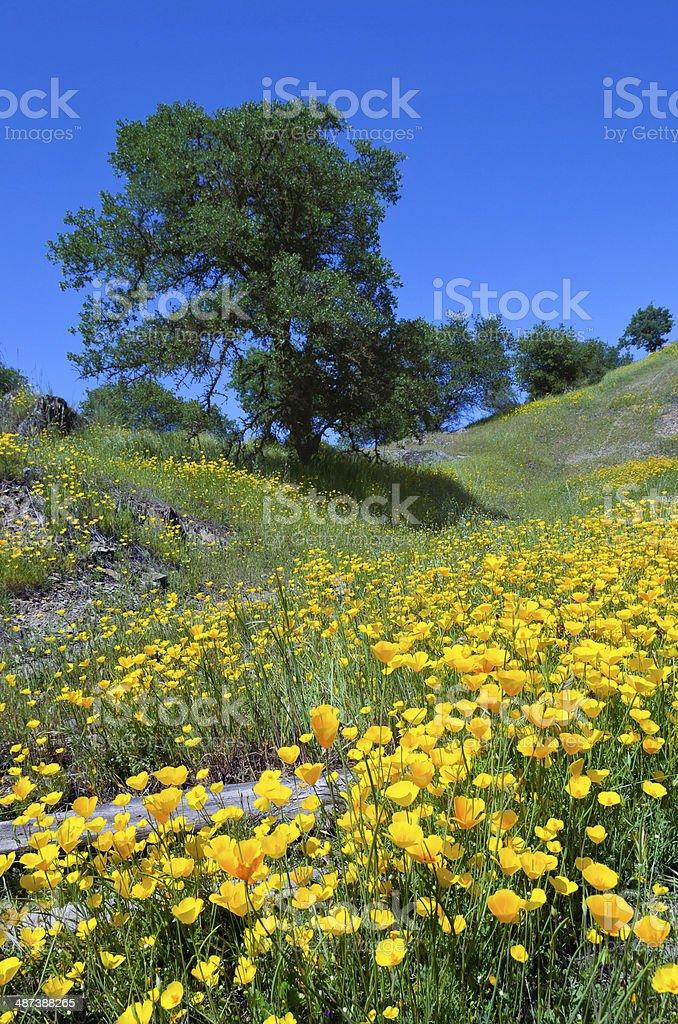 California Poppies and Oak Trees stock photo