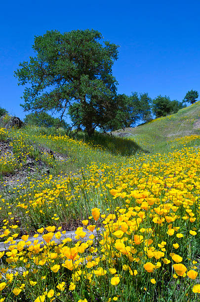 California Poppies and Oak Trees stock photo